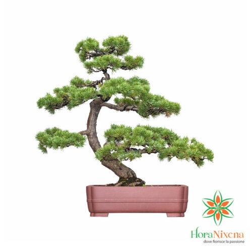Piante Bonsai di pino