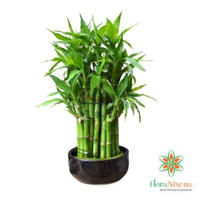 Bambù - Pianta
