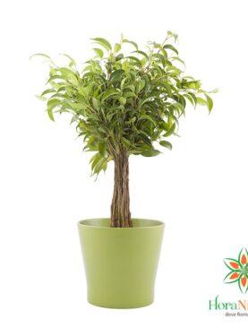 Ficus Benjamin - Pianta