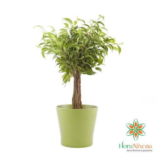 Pinta Ficus Benjamin